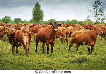 Large group of brown cows in field