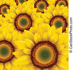 Sunflower background - Sunflower field as summer background,...