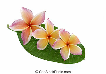 Plumeria flowers with leaf isolated on white