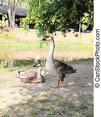 domestic goose near the river