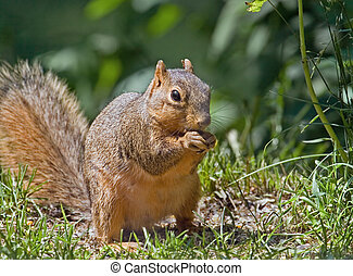 Squirrel - Fox squirrel (sciurus niger) eating
