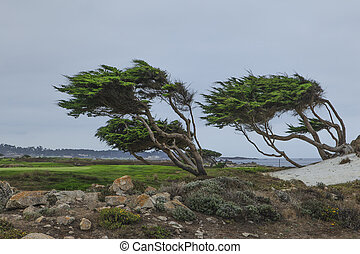 Windblown trees at Pebble Beach Ca - Cypress trees along the...