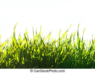 green lawn - Beautiful green lawn isolated on white