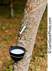 Hevea sap - Milk of rubber tree flows into a bowl