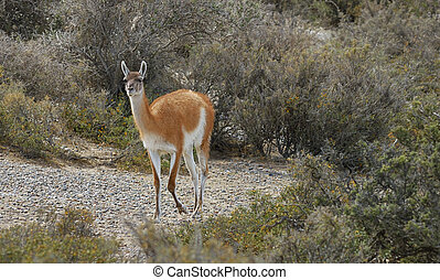 Guanaco walking in Reserva National Punta Tombo