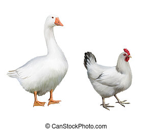 White Goose and white chicken Isolated realistic...