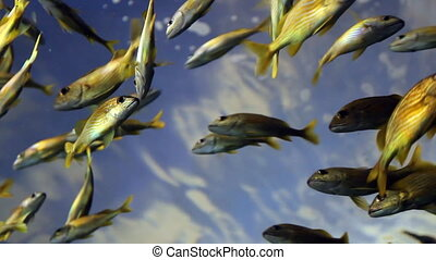 Fish Under Blue Sky - Low angle of a school of yellow fish...