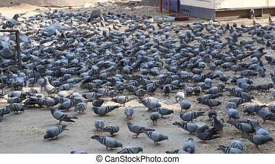 many pigeons in Jaipur India