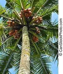 Yellow Coconut Fruit - Yellow coconut fruit hanging on tree