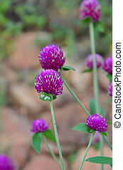 Globe amaranth is an all-time flower-gardening favorite.