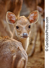 baby rusa deer - Rusa deer are gregarious animals and live...
