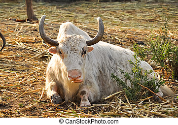 Yaks belong to the genus Bos, and are therefore related to...