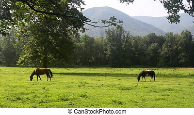 Horses Grazing in Valley - Two horses grazing in a field in...