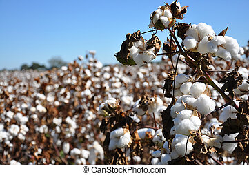 Cotton Field - Cotton in field on farm in Alabama.