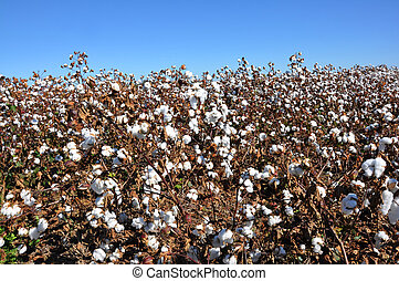 Cotton Field - Cotton field in Alabama with blue sky.