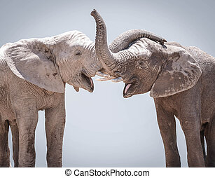 Elephant couple against gray background