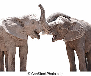 Elephant couple against white background