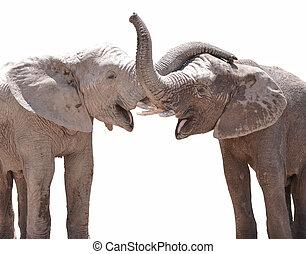 Elephant couple against white background