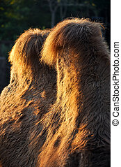 Bactrian camel humps - There are two humps on the back,...