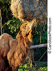 Bactrian camel are delicious to eat hay of it