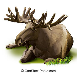 Moose resting. Male adult moose with big horns. - Moose....