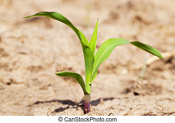 corn sprout - the small sprout of corn growing on an...