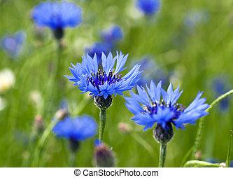 cornflowers - blue cornflowers growing in a field small...