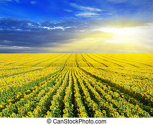Sunset over the sunflower field. Summer landscape.