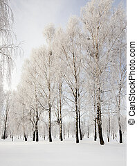 winter forest - the birches growing in the wood in a winter...