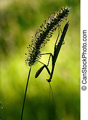 shadow side of praying mantis - shadow mantodea close up of...
