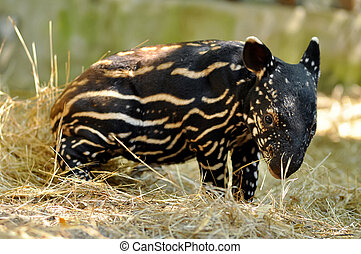 baby tapir - Young tapirs of all species have brown hair...