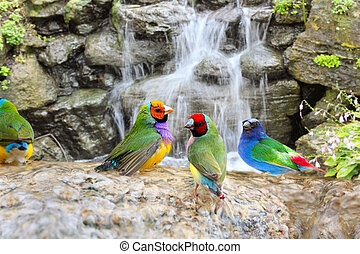 Exotic Birds Enjoying the Water - Gouldian Finch Colorful...