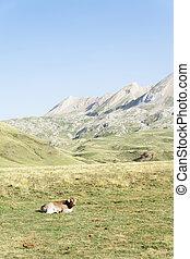 A calf resting