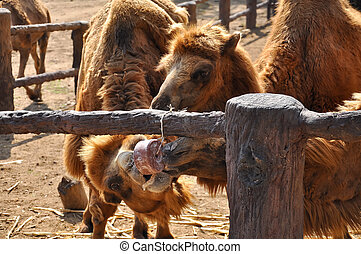 Bactrian camel eating - Bactrian camel were happy to eat the...