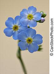 close up of a blue yellow anagallis foemina - macro close up...