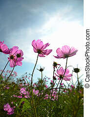Cosmos flowers and sky