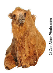 Bactrian camels have two humps rather than the single hump...