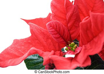 closeup of a red winter rose - closeup of a red blooming...