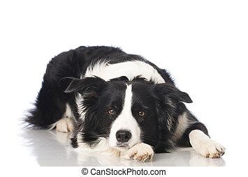 Border collie dog - Dog isolated on white background