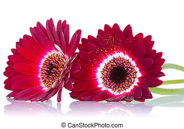 Red gerbera flowers with reflection