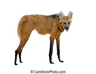 maned wolf isolated on a white background