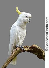 Sulphur-crested Cockatoo isolated on gray background