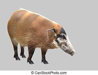 red river hog, african wild life isolated on white...