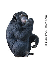 chimpanzee, simia troglodytes isolated on white background