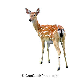 sika deer - female sika deer isolated on white background