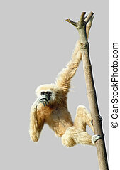 common gibbon or white-handed gibbon isolated on gray...