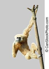 普通, 長臂猿, 或者, white-handed, 長臂猿