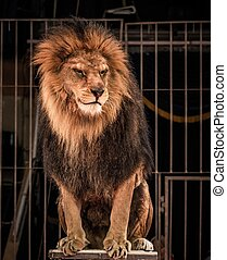 Gorgeous lion sitting in a circus arena cage