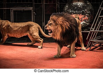 Gorgeous roaring lion walking on circus arena