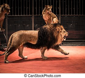 Gorgeous roaring lion walking on circus arena and lioness...